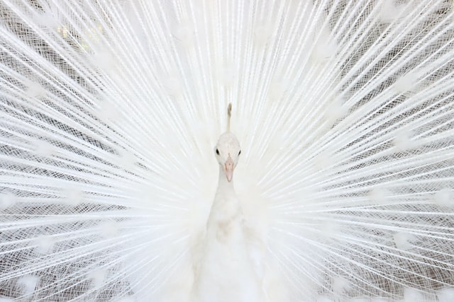 White peacock fanning its feathers as a representation of how testimonial writing shows off how good you are